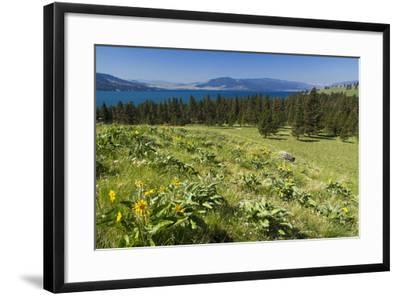 Arrowleaf Balsamroot Blooming on Wild Horse Island State Park, Montana, USA-Chuck Haney-Framed Photographic Print
