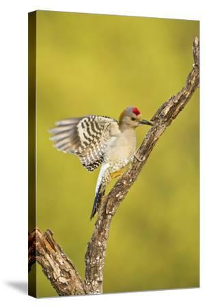 Golden-Fronted Woodpecker Bird, Male Perched in Native Habitat, South Texas, USA-Larry Ditto-Stretched Canvas Print