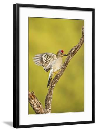Golden-Fronted Woodpecker Bird, Male Perched in Native Habitat, South Texas, USA-Larry Ditto-Framed Photographic Print