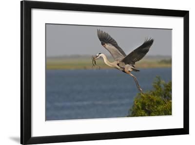 Great Blue Heron (Ardea Herodias) Bird Flying with Nest Material, Texas, USA-Larry Ditto-Framed Photographic Print