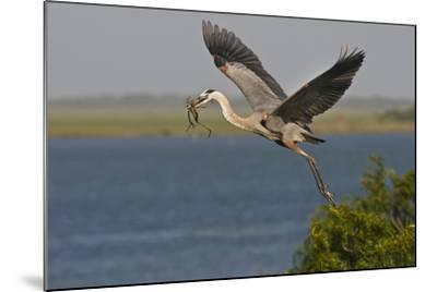 Great Blue Heron (Ardea Herodias) Bird Flying with Nest Material, Texas, USA-Larry Ditto-Mounted Photographic Print