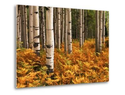 Stand of Quaking Aspen Tree, Gunnison National Forest, Colorado, USA-Adam Jones-Metal Print
