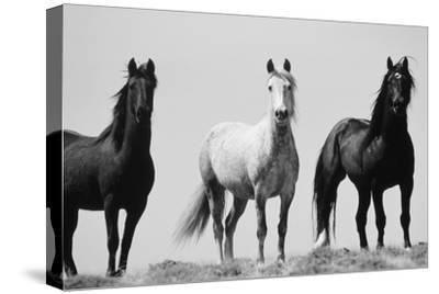 Wild Stallion Horses, Alkali Creek, Cyclone Rim, Continental Divide, Wyoming, USA-Scott T^ Smith-Stretched Canvas Print