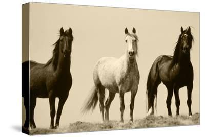 Wild Stallion Horses, Alkali Creek, Cyclone Rim, Continental Divide, Wyoming, USA-Scott T^ Smith-Stretched Canvas Print