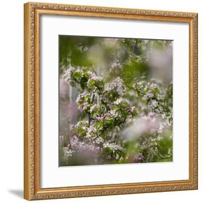 Spring, Apple in the Valley Vinschgau, South Tyrol, Italy-Martin Zwick-Framed Photographic Print