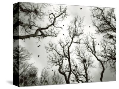 Crow Rookery-Jamie Cook-Stretched Canvas Print