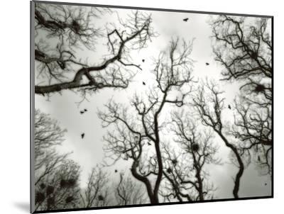 Crow Rookery-Jamie Cook-Mounted Premium Photographic Print