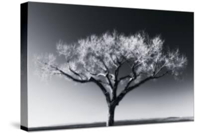 Glowing Tree-Jamie Cook-Stretched Canvas Print