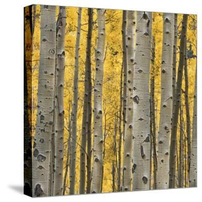 Aspen Trees 3-Jamie Cook-Stretched Canvas Print