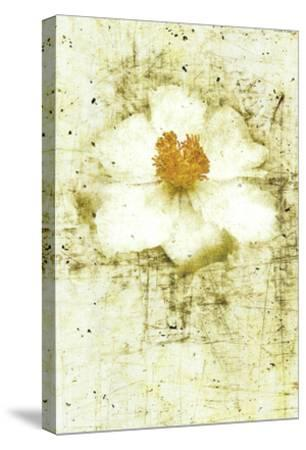 White Peony-Doug Landreth-Stretched Canvas Print