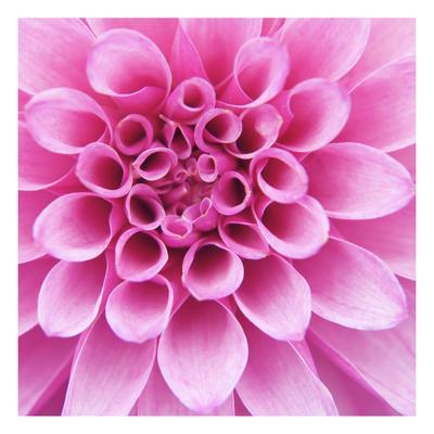 Dahlia Delight-Karen Ussery-Stretched Canvas Print