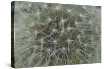 Dandelion Puff-Karen Ussery-Stretched Canvas Print