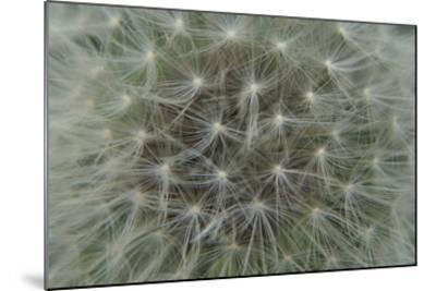 Dandelion Puff-Karen Ussery-Mounted Premium Photographic Print