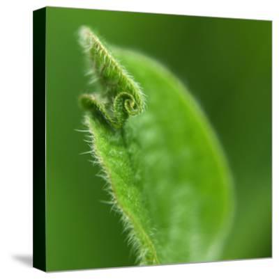 Leaf Curl-Karen Ussery-Stretched Canvas Print
