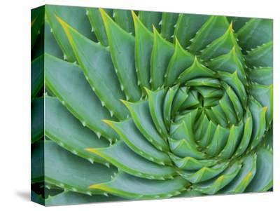 Succulent Swirl-Karen Ussery-Stretched Canvas Print