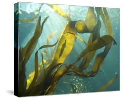Sea Kelp 2-Karen Ussery-Stretched Canvas Print