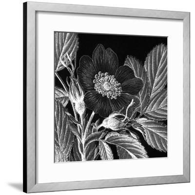 Rosa Pomifera-Thea Schrack-Framed Premium Giclee Print