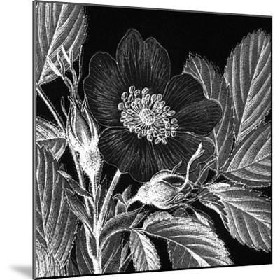 Rosa Pomifera-Thea Schrack-Mounted Premium Giclee Print