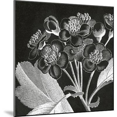 Mespilus Dxyacantha-Thea Schrack-Mounted Premium Giclee Print