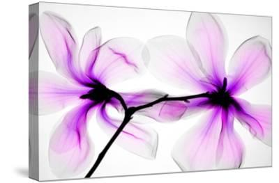 Magnolias-Hong Pham-Stretched Canvas Print