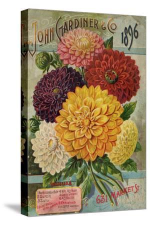 John Gardiner and Co. 1896: Dahlias--Stretched Canvas Print