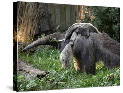 National Zoological Park: Giant Anteater--Stretched Canvas Print