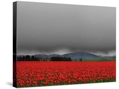 Tulip Fields-Howard Ruby-Stretched Canvas Print