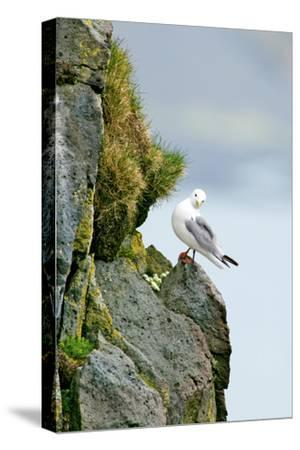 Icelandic Seagull-Howard Ruby-Stretched Canvas Print