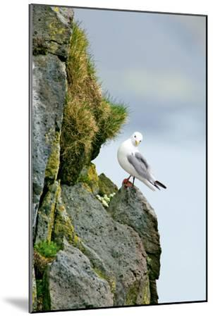 Icelandic Seagull-Howard Ruby-Mounted Photographic Print