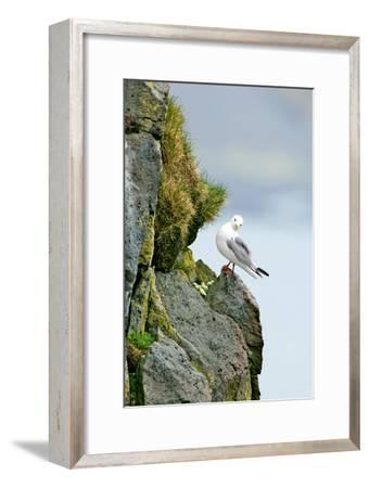 Icelandic Seagull-Howard Ruby-Framed Photographic Print