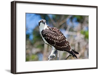Osprey, Yucatan, Mexico-Howard Ruby-Framed Photographic Print
