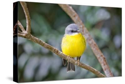 Eastern Yellow Robin, Australia-Howard Ruby-Stretched Canvas Print