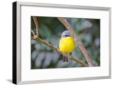 Eastern Yellow Robin, Australia-Howard Ruby-Framed Photographic Print