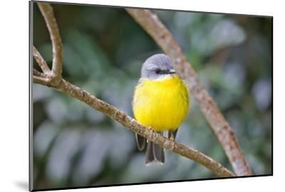 Eastern Yellow Robin, Australia-Howard Ruby-Mounted Photographic Print