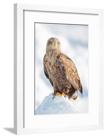 Snow Hawk-Howard Ruby-Framed Photographic Print
