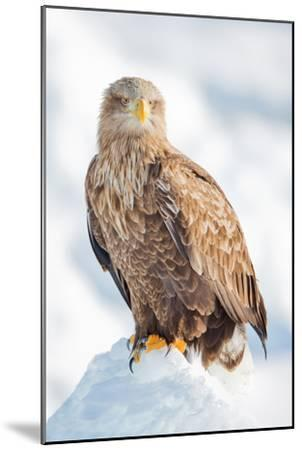 Snow Hawk-Howard Ruby-Mounted Photographic Print