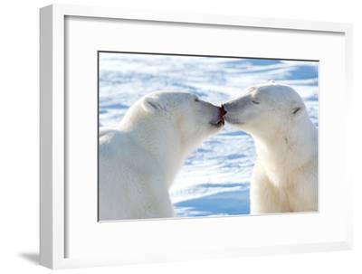 Kissing Polar Bears II-Howard Ruby-Framed Photographic Print