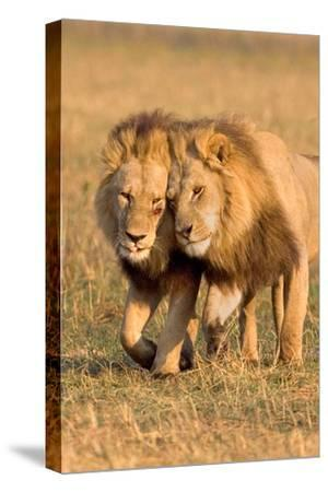 Bonding Lions-Howard Ruby-Stretched Canvas Print