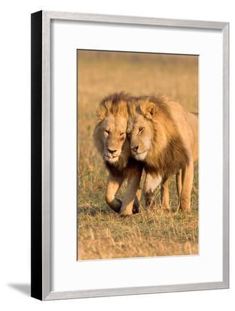 Bonding Lions-Howard Ruby-Framed Photographic Print