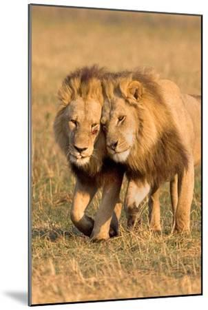 Bonding Lions-Howard Ruby-Mounted Photographic Print