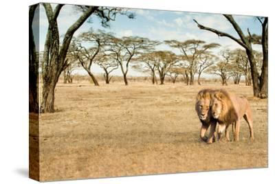 Bonding Lions Walk-Howard Ruby-Stretched Canvas Print