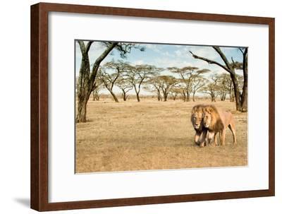Bonding Lions Walk-Howard Ruby-Framed Photographic Print