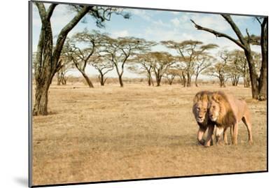 Bonding Lions Walk-Howard Ruby-Mounted Photographic Print