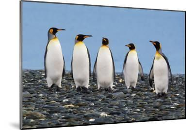 Four King Penguins-Howard Ruby-Mounted Photographic Print