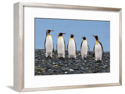 Four King Penguins-Howard Ruby-Framed Photographic Print