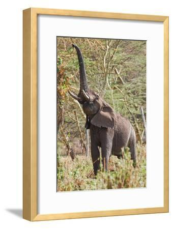 Elephant Reach-Howard Ruby-Framed Photographic Print