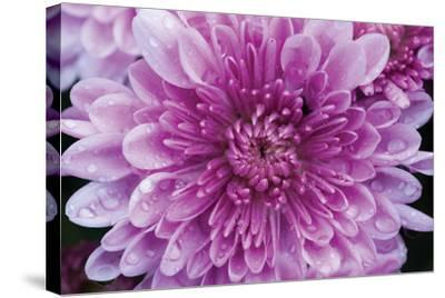Purple Mum II-Erin Berzel-Stretched Canvas Print