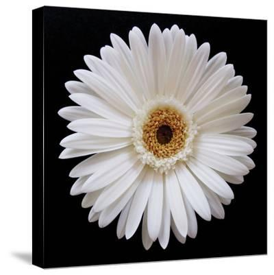White Gerber Daisy-Jim Christensen-Stretched Canvas Print