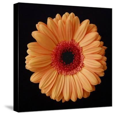 Orange Gerber Daisy-Jim Christensen-Stretched Canvas Print
