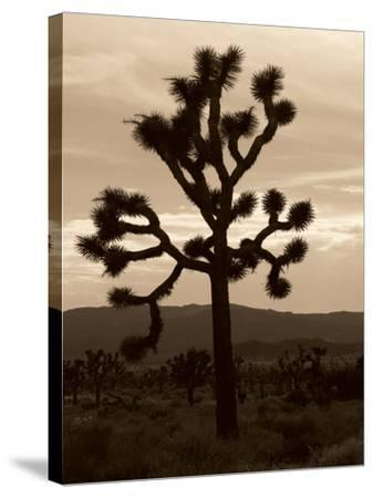 Yucca Brevifolia III-Erin Berzel-Stretched Canvas Print